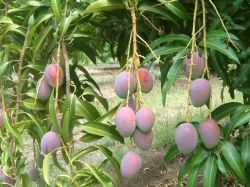 Mangoes Ord Land and Water